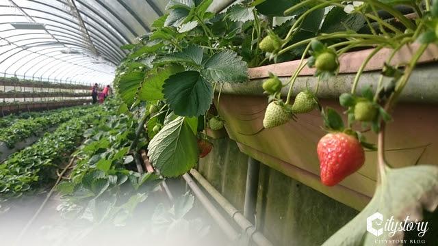 【台北內湖旅遊景點】北部內湖小草莓超搶手-白石湖假日採果踏青路線