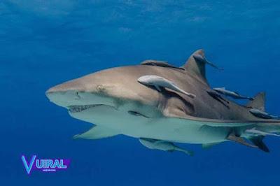 Contoh Simbiosis Komensalisme Ikan Remora Dan Ikan Hiu