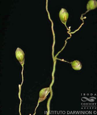 Canutillo (Dichanthelium sabulorum)