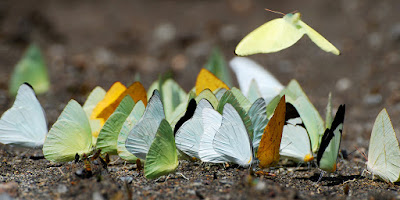 A maioria das borboletas se alimenta do néctar que colhem das flores, mas há também as que se alimentam de pólen, néctar de frutas, seiva de árvores , lama, e outras alimentam-se de esterco de animais, e pasme, até de carcaças de animais .   - httsp://mundoanimalevidaselvagem.blogspot.com/