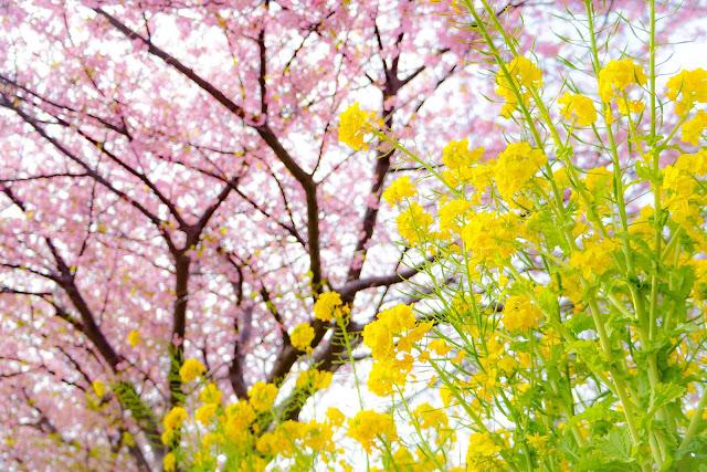 菜の花,桜,三浦海岸