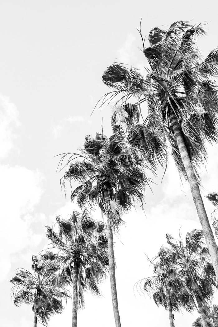 black and white palm photo