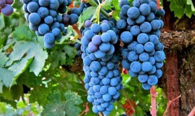 Терміни посадки винограду восени