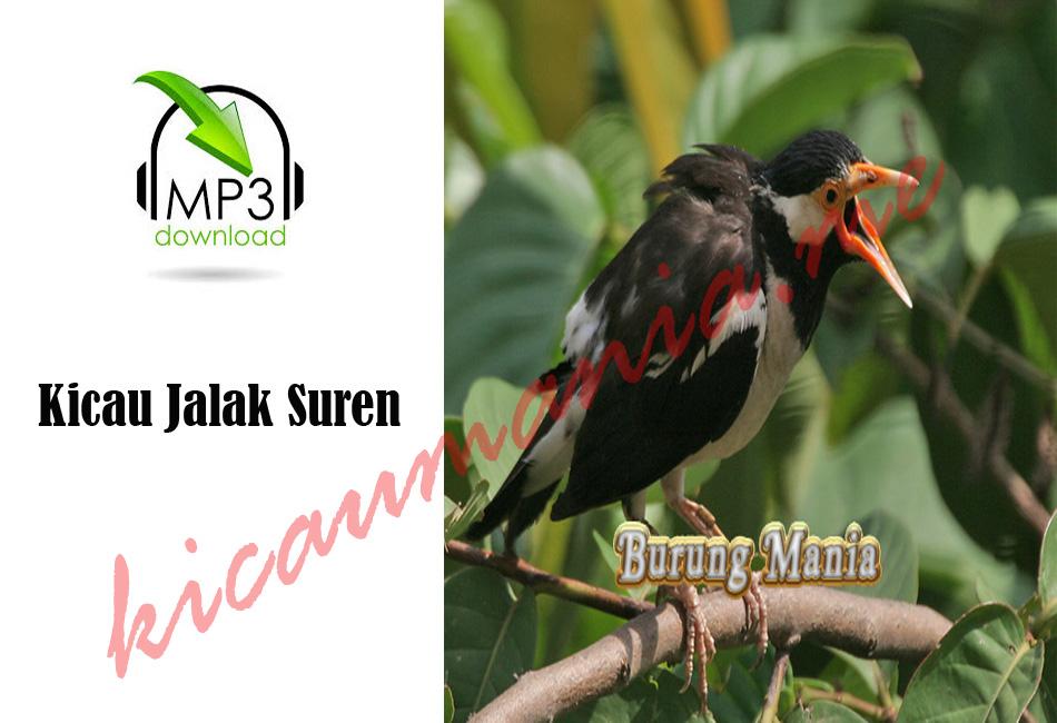 Master Jalak Suren