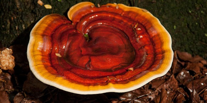 Buy Ganoderma mushroom spawn on amazon | Biobritte mushroom store