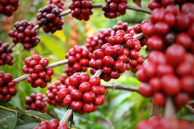 Café de qualidade, com controle de sanidade e certificação de origem