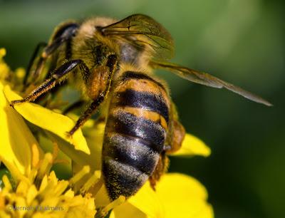Woodbridge Island Bee - Canon EOS / 100mm Macro lens