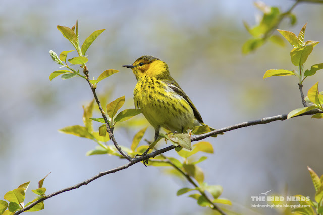 Cape May Warbler at Point Pelee