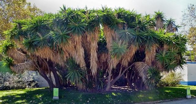 Yucca gigantea in the Parc de la Ciutadella, Barcelona