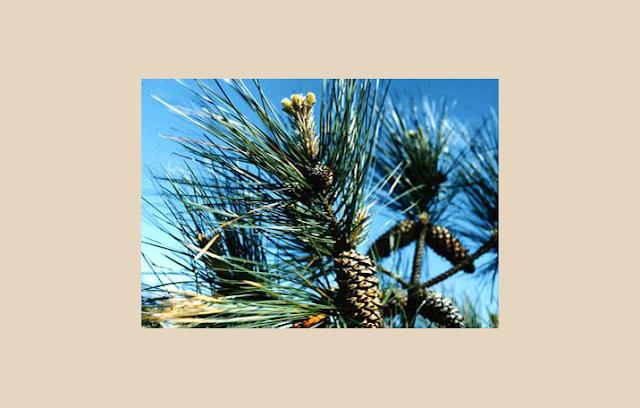Pinus Sp