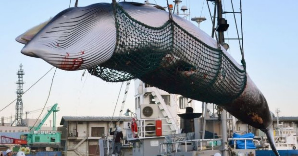 Iceland Plans To Kill More Than 2,000 Whales, Challenging The International Ban Again