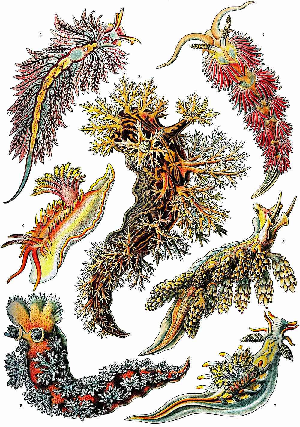 Ernst Haeckel odd sea creatures, a color illustration