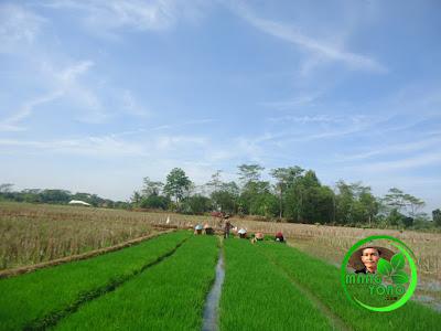 Proses babut / mencabut benih padi
