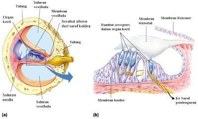 Gangguan dan Penyakit Pada Organ Telinga