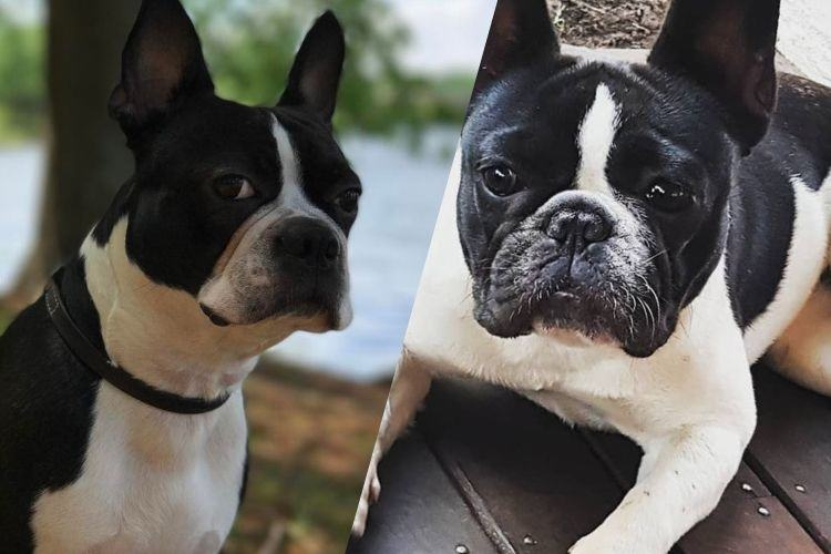Differences Between the Boston Terrier and French Bulldog