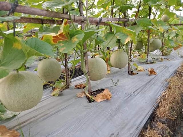 Buah melon siap panen 70hst