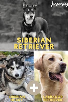 Siberian Retriever