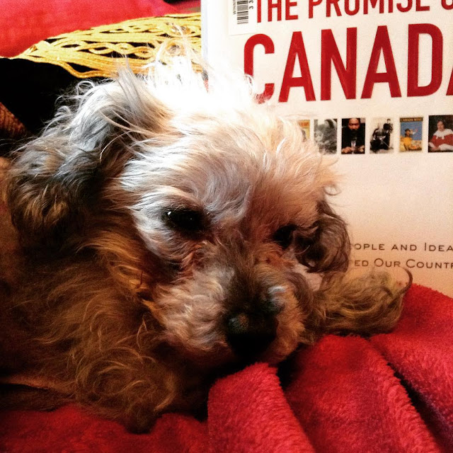Murchie, eyes droopy, lies with his head almost down against a red blanket. Propped up behind him is a hardcover copy of The Promise of Canada. Its white cover features the title in red, with tiny rectangular images of prominent Canadians and advertising posters below it.