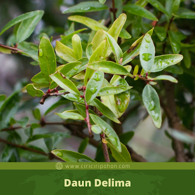 Daun Delima