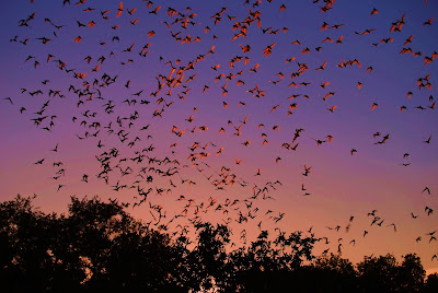Thousands of bats in flight at sunset.