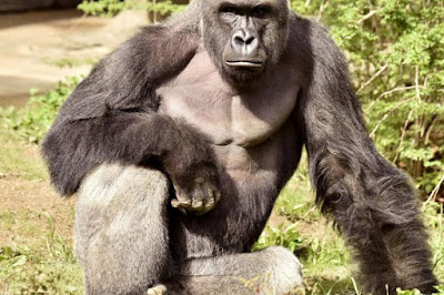 Gorilla Harambe Shot Dead at Cincinnati Zoo