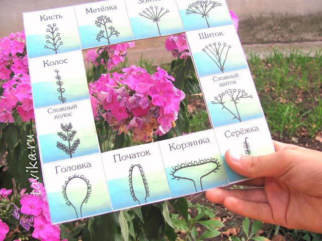 соцветия. пособие для детей. скачать и распечатать
