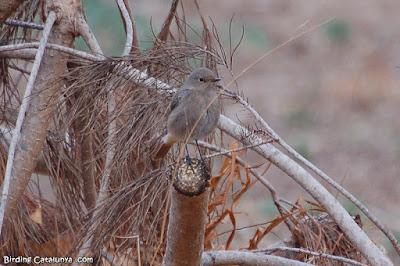 Cotxa fumada (Phoenicurus ochruros)