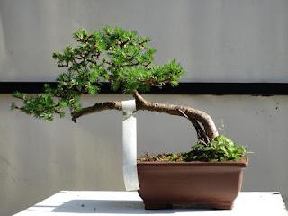 Todo lo que te atreviste a preguntar sobre un bonsai.