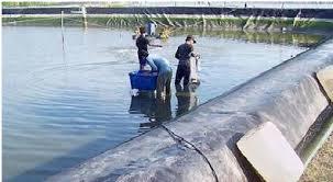Kabupaten Pati mempunyai potensi sumberdaya kelautan  Kabar Terbaru- MENGENAL  PENYAKIT VIBRIO DI DALAM  BUDIDAYA UDANG