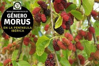 El género Morus arboles de tamaño medio que no suelen superar los 12 ó 15 m. de altura