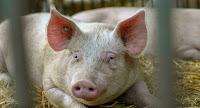 peste-porcina