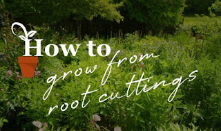 how to grow root cuttings