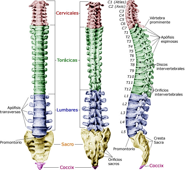 bagian bagian columa vertebra/ruas-ruas tulang belakang