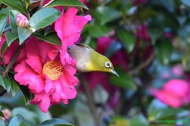 ternyata untuk burung ini juga memiliki tingkat kesulitan dalam tahap penangkaran Cara Mudah Ternak Burung Pleci