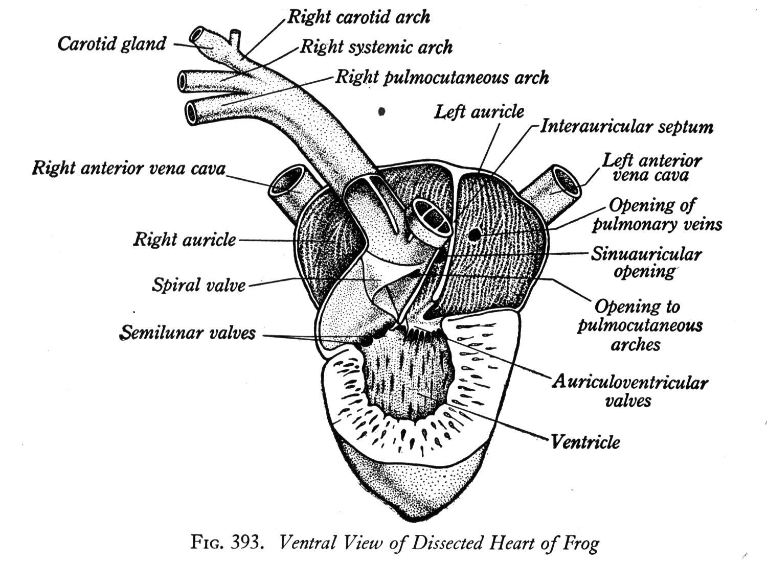 Standard Note Structure And Working Of Frog S Heart