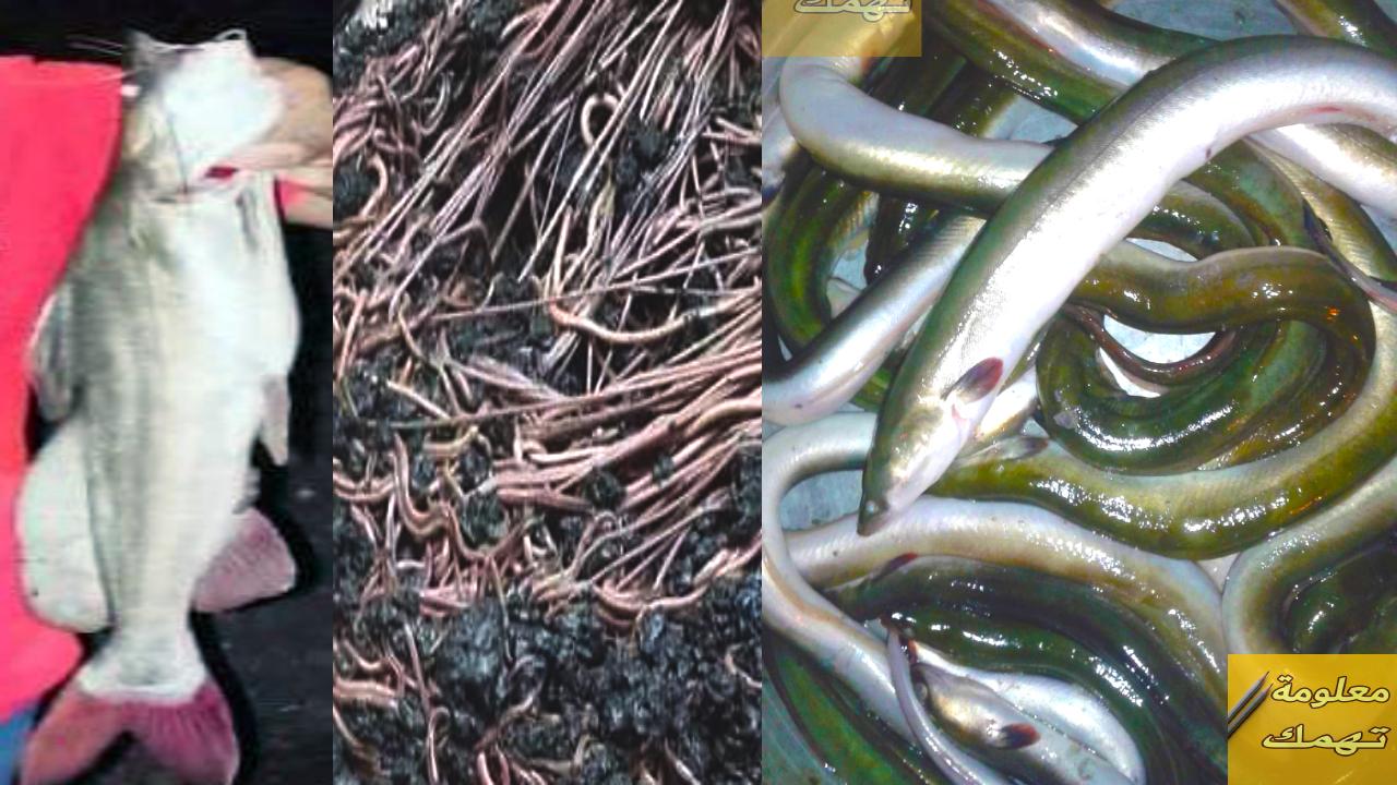 طريقة الصد بالدود الزفر (البحاري) | صيد السمك بالطعم الزفر