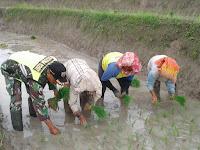 Peran Aktif Babinsa 03/Siantar Selatan Dampingi Petani Tanam Padi