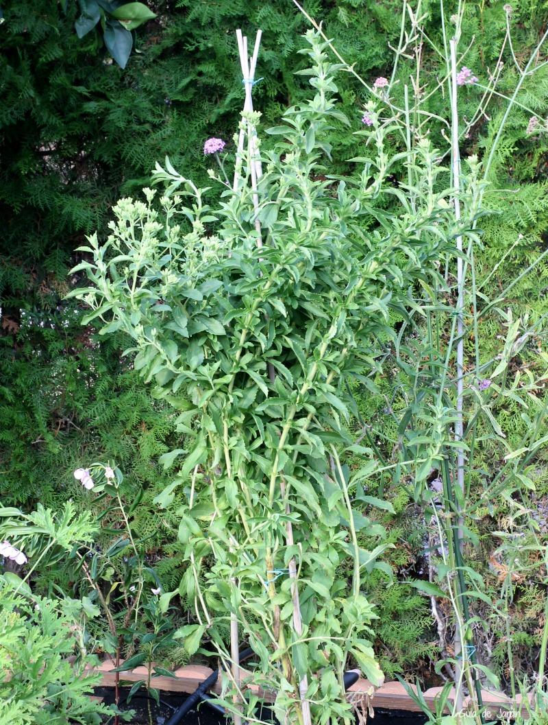 estevia en el huerto de hierbas