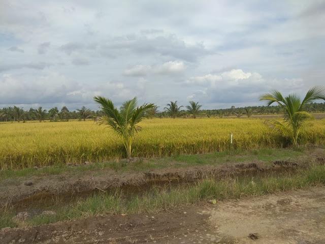 Petani di Desa Upang Ceria Hasilkan 7-8 Ton Padi Per Hektare