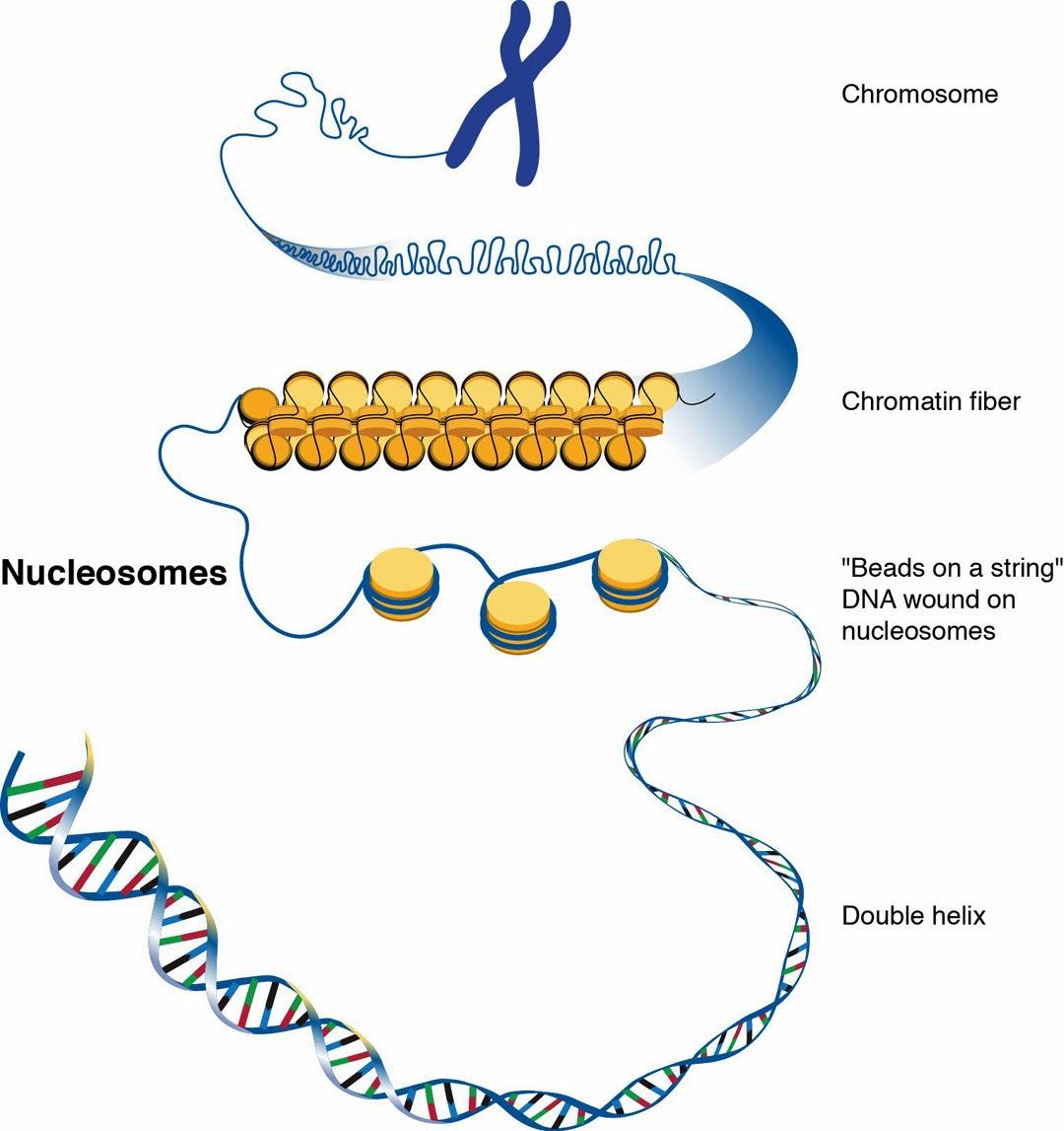 生命科學迷的浮生掠影: 去氧核醣核酸(DNA)的結構與功能2013年10月20日