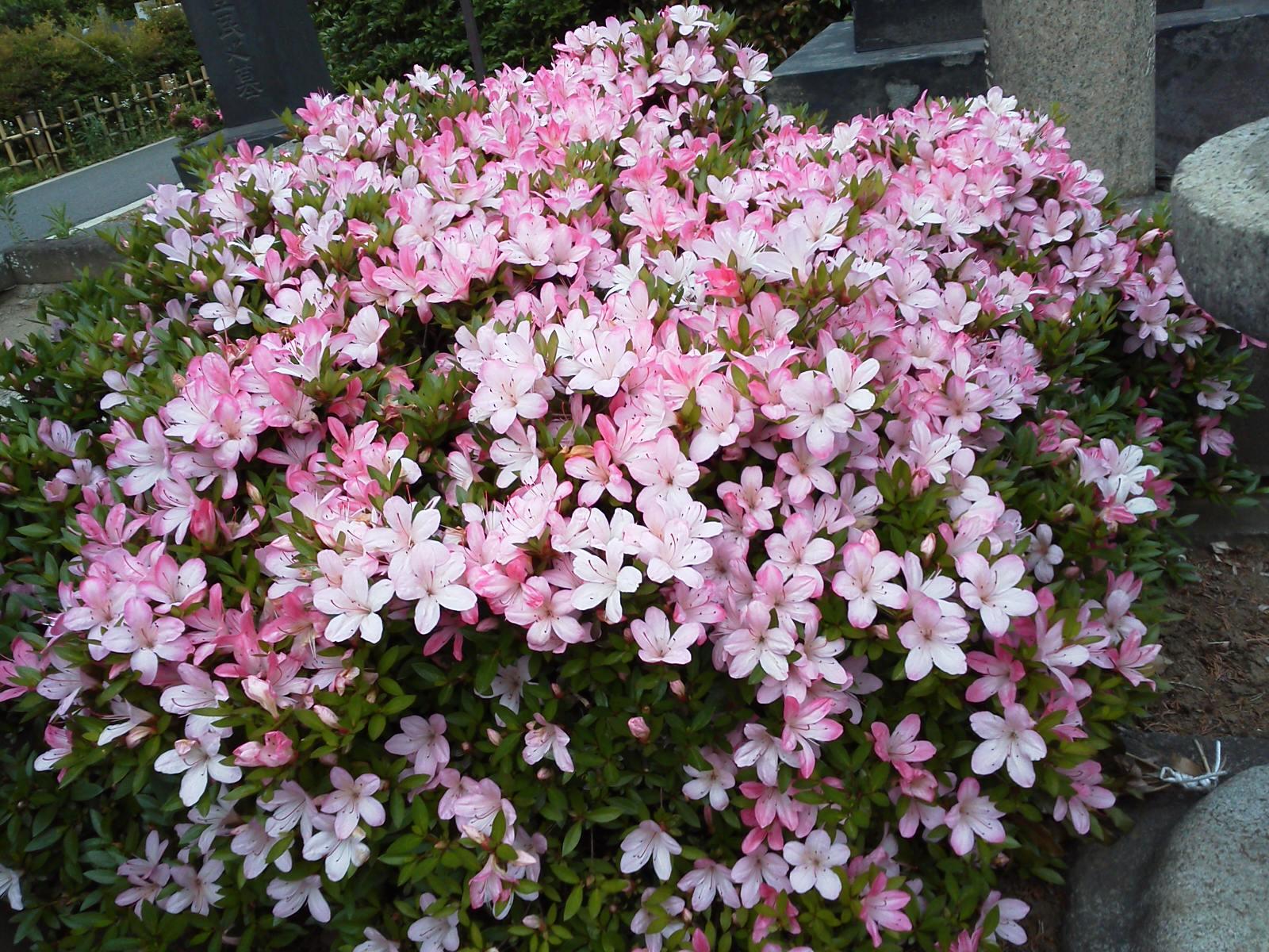 さーべる倶楽部: 5月の花と貓・攜帯寫真