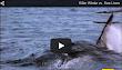 حوت ازرق يخرج من البحر وياكل اسدا -- فيديو خطير جدااا