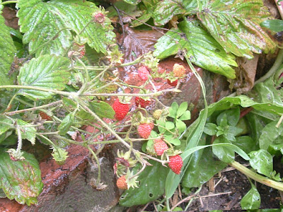 Photo of a bunch of red strawberries growing next to a low brick wall