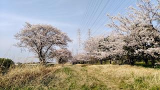 桜並木 千葉市の花見川沿い