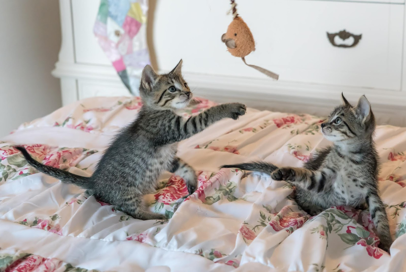 Tabby kittens on floral comforter,cat images