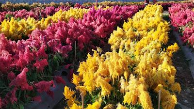 taman bunga celosia ambarawa
