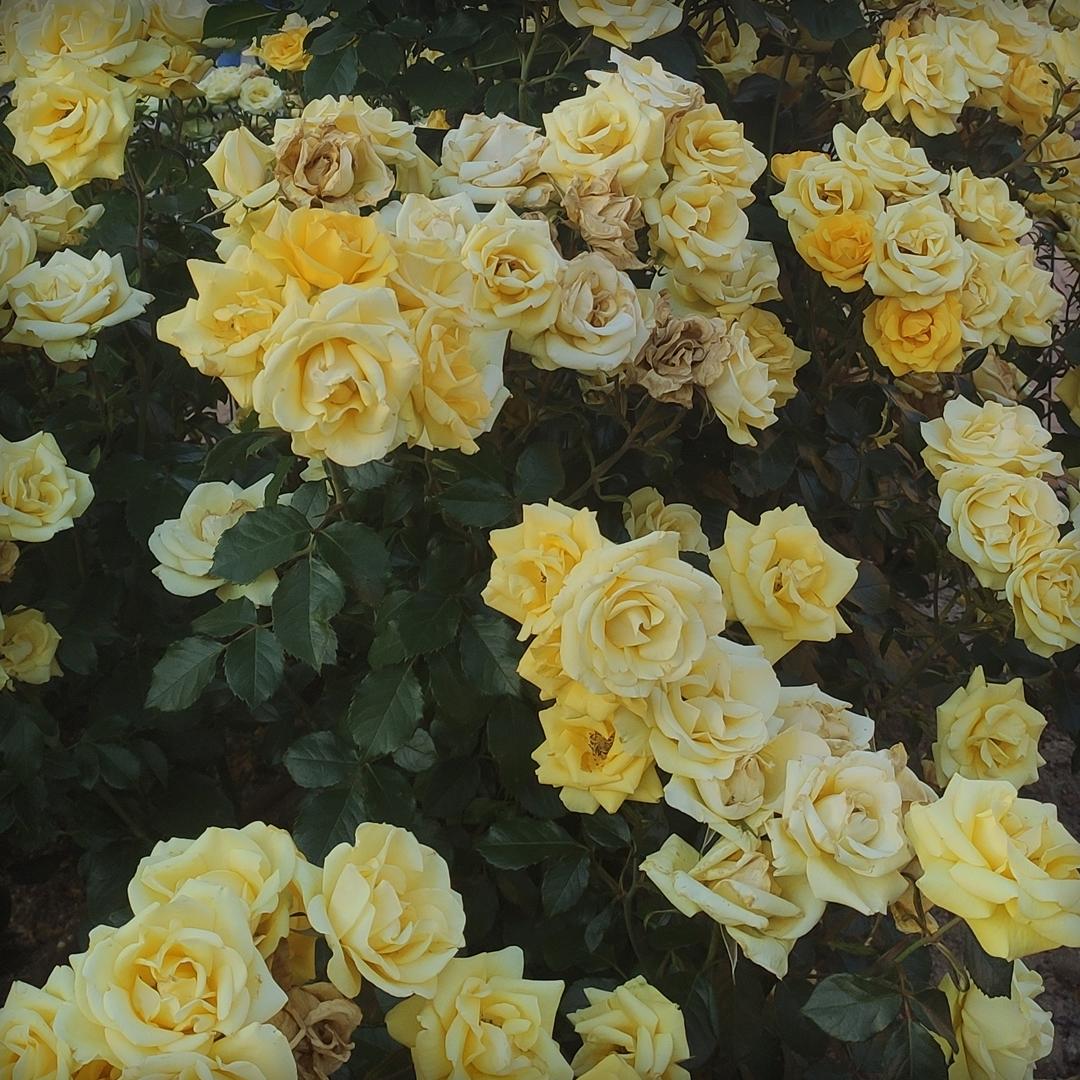 Rosas de jardín amarillas