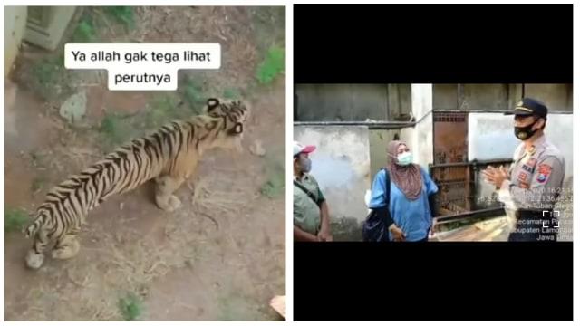 Viral Harimau Kurus di Kebun Bintang Lamongan, Pengelola: Pengambilan Angle Video Kurang Pas