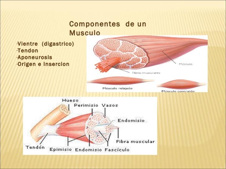 Anatomía comparada de los Animales Domesticos: Miologia (Musculo)
