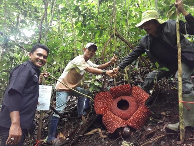 Bunga Langka Raflesia Jenis Arnoldii Ditemukan Mekar Di Obyek Wisata Bukit Soda Tanjung Sungayang